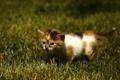 Картинка трава, малыш, прогулка, котёнок