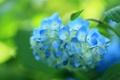 Картинка цветок, синяя, цветение, кустарник, гортензия