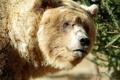 Картинка портрет, медведь, топтыгин