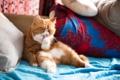 Картинка кот, мойдодыр, груминг, экзот, чистюля