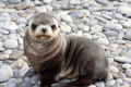 Картинка тюлень, малыш, морской котик, детеныш