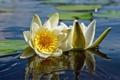 Картинка листья, вода, природа, лилия