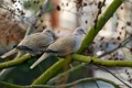 Картинка природа, голуби, ветки