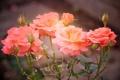 Картинка бутоны, розы, лепестки, розовые, размытость