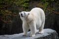 Картинка камень, белый медведь, полярный