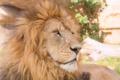 Картинка морда, хищник, лев, грива, профиль, дикая кошка