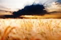 Картинка облака, колосья, фото, пейзажи, поле, пшеница, облако