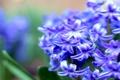 Картинка макро, цветы, синий, весна, размытость, Гиацинт