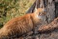 Картинка пушистый, котэ, рыжий кот