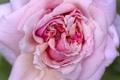 Картинка роза, чайная роза, розовая, роса, макро, цветки