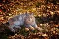 Картинка листья, лежит, серая, рысь, смотрит, сухие. прошлогодние
