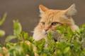 Картинка трава, кот, листья, рыжий, лежит, смотрит