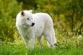 Картинка Арктический волк, Мелвильский островной волк, волк