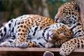 Картинка отдых, хищники, ягуары