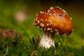 Картинка мох, гриб, мухомор, боке, макро, фокус