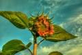 Картинка небо, листья, облака, подсолнух, лепестки