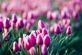 Картинка цветы, розовый, тюльпаны, лиловый, поле цветов