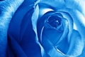 Картинка Голубая Роза, Лепестки, Бутон, Роза