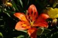Картинка лето, оранжевый, тепло, лилия