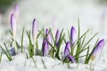 Картинка макро, снег, цветы, crocus