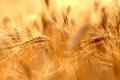 Картинка поле, лето, колоски спелые, Spirit of summer