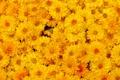Картинка хризантемы, оранжевые, макро