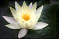 Картинка макро, лилия, лепестки, белая, водяная