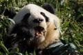 Картинка зелень, животное, панда