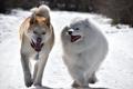 Картинка зима, собаки, прогулка, друзья