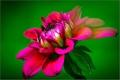 Картинка цветок, лепестки, георгин, dahlia