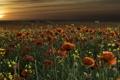 Картинка поле, пейзаж, закат, маки