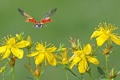 Картинка жёлтые, божья, цветы, коровка.крылья, полёт