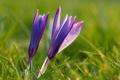 Картинка природа, весна, цветы, крокусы