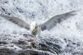 Картинка природа, река, птица, рыба