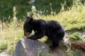 Картинка природа, морковка, медведь