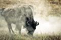 Картинка природа, фон, бизон