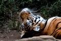 Картинка кошка, взгляд, морда, тигр