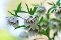 Картинка цветы, ветка, листочки, Морозник, Helleborus