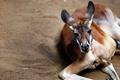 Картинка животное, кенгуру, отдыхает