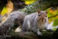Картинка Sean Aitken, ветка, белка, серая, дерево