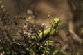 Картинка трава, богомол, растения, насекомое, зеленый, прячется