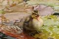 Картинка листья, вода, малыш, утёнок, птенец