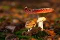 Картинка осень, макро, свет, грибы, мох, фокус, мухоморы