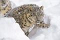 Картинка зима, морда, снег, лапа, хищник, ирбис, снежный барс