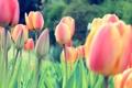 Картинка colors, Red, flowers, Tulips