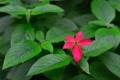 Картинка цветок, листья, растение, куст, лепестки, сад