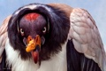 Картинка птица, Sarcoramphus, Королевский гриф