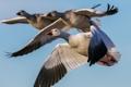 Картинка nature, birds, Snow Geese