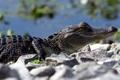 Картинка природа, крокодил, лето
