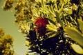 Картинка цветок, трава, деревья, природа, кусты, nature, Grevillea